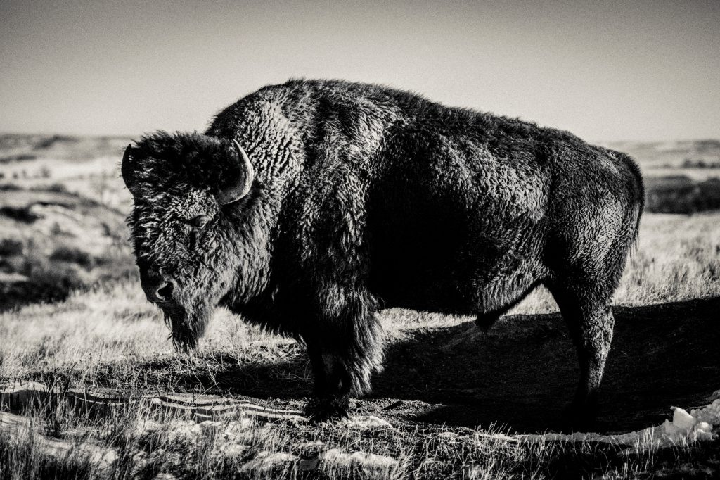 Buffalo, Bear Butte, South Dakota