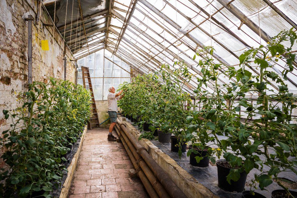 Plantsman John Winn tending to his tomato plants