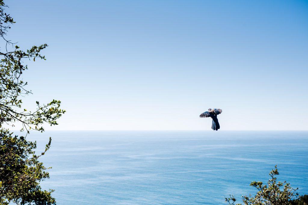 Western Scrub Jay, Nepenthe, Big Sur